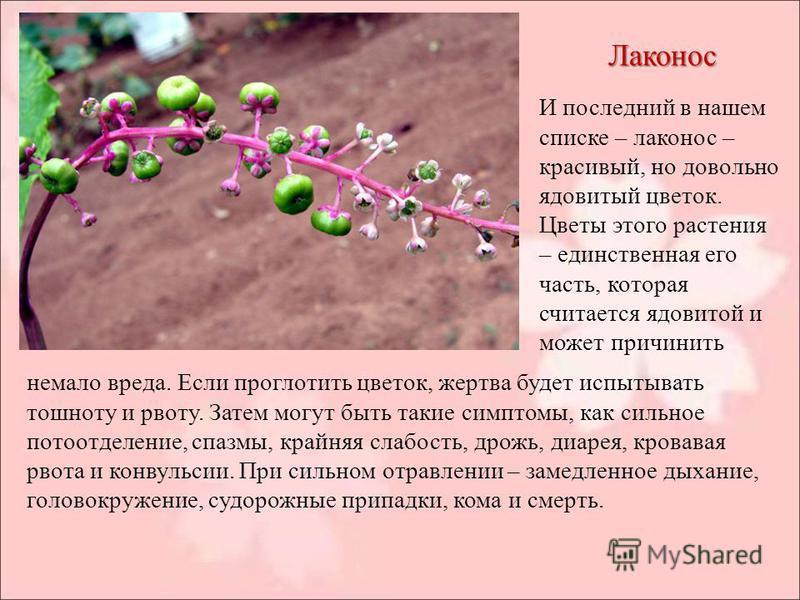 Лаконос И последний в нашем списке – лаконос – красивый, но довольно ядовитый цветок. Цветы этого растения – единственная его часть, которая считается ядовитой и может причинить немало вреда. Если проглотить цветок, жертва будет испытывать тошноту и