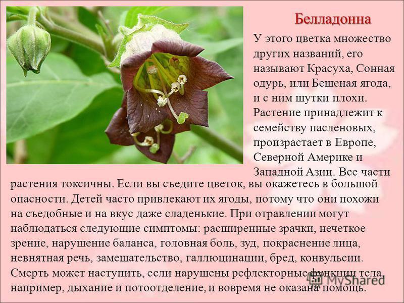 Белладонна У этого цветка множество других названий, его называют Красуха, Сонная одурь, или Бешеная ягода, и с ним шутки плохи. Растение принадлежит к семейству пасленовых, произрастает в Европе, Северной Америке и Западной Азии. Все части растения