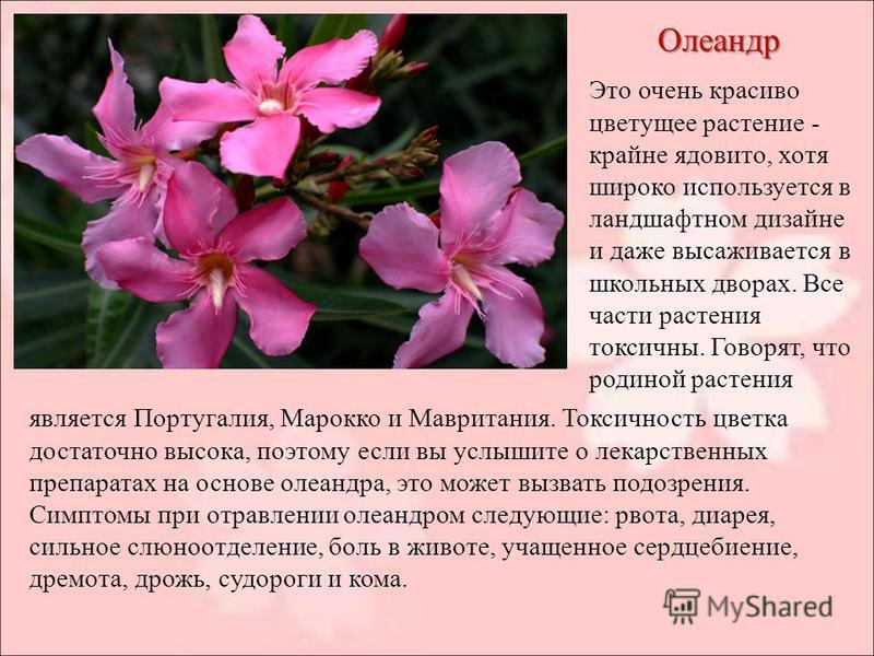 Олеандр Это очень красиво цветущее растение - крайне ядовито, хотя широко используется в ландшафтном дизайне и даже высаживается в школьных дворах. Все части растения токсичны. Говорят, что родиной растения является Португалия, Марокко и Мавритания.