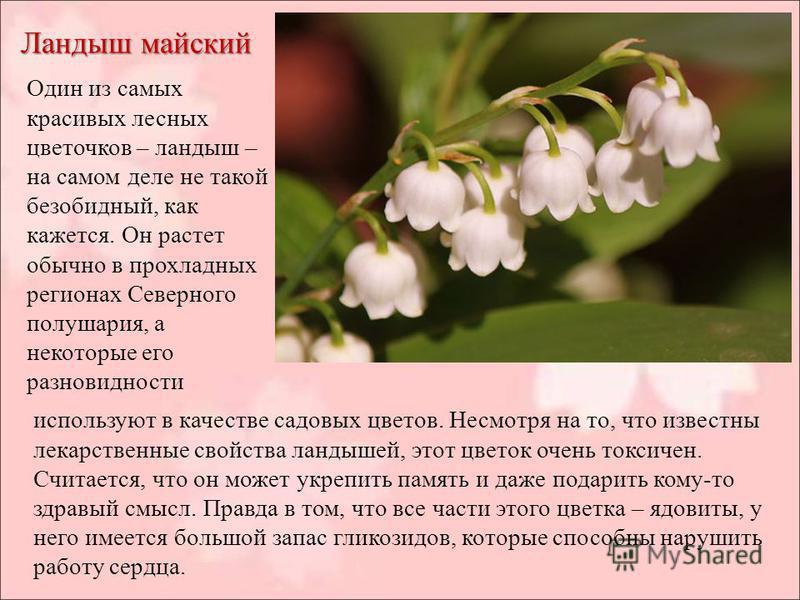 Ландыш майский Один из самых красивых лесных цветочков – ландыш – на самом деле не такой безобидный, как кажется. Он растет обычно в прохладных регионах Северного полушария, а некоторые его разновидности используют в качестве садовых цветов. Несмотря