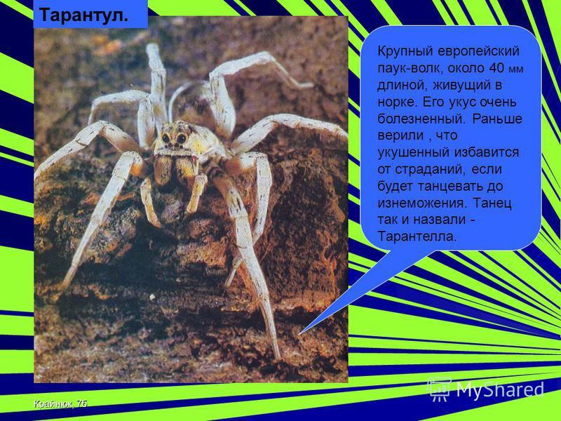 Крайнюк, 7 б Тарантул. Крупный европейский паук-волк, около 40 мм длиной, живущий в норке. Его укус очень болезненный. Раньше верили, что укушенный избавится от страданий, если будет танцевать до изнеможения. Танец так и назвали - Тарантелла.