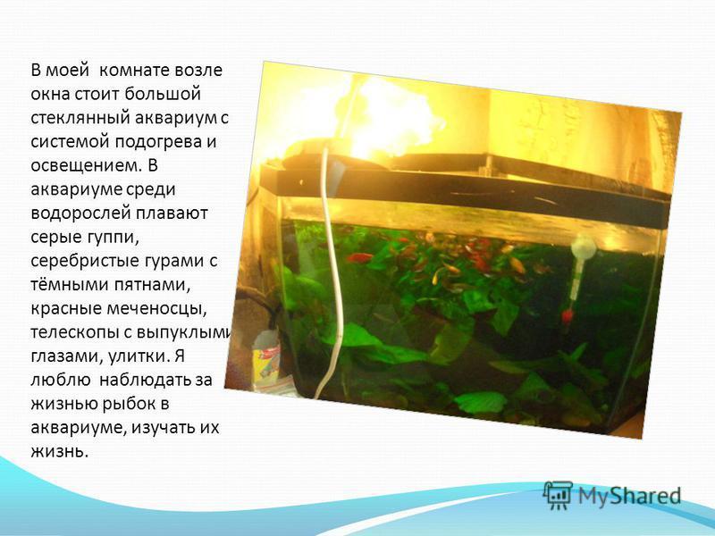 В моей комнате возле окна стоит большой стеклянный аквариум с системой подогрева и освещением. В аквариуме среди водорослей плавают серые гуппи, серебристые гурами с тёмными пятнами, красные меченосцы, телескопы с выпуклыми глазами, улитки. Я люблю н