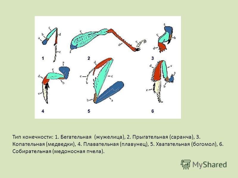 Тип конечности: 1. Бегательная (жужелица), 2. Прыгательная (саранча), 3. Копательная (медведки), 4. Плавательная (плавунец), 5. Хватательная (богомол), 6. Собирательная (медоносная пчела).
