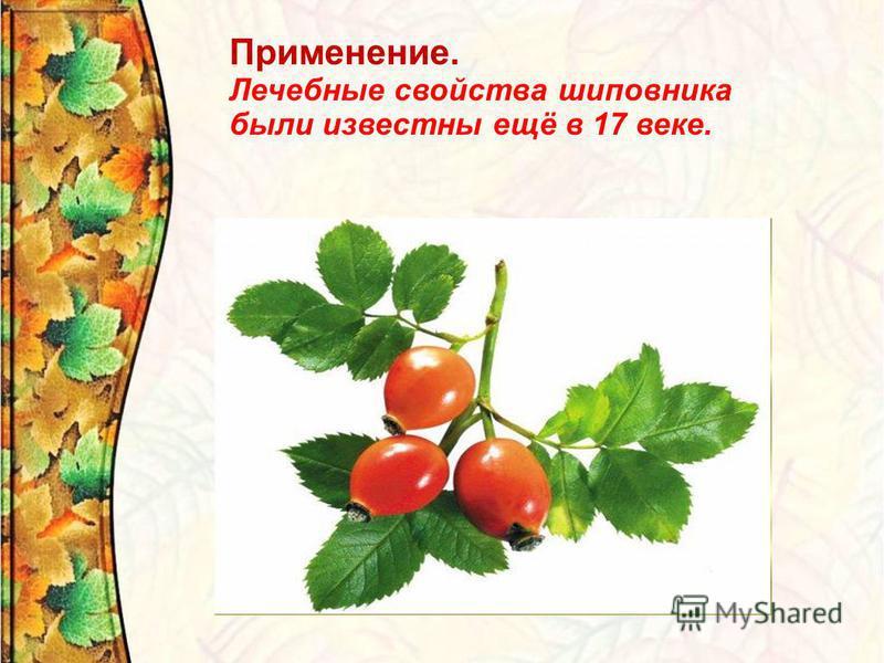 Применение. Лечебные свойства шиповника были известны ещё в 17 веке.
