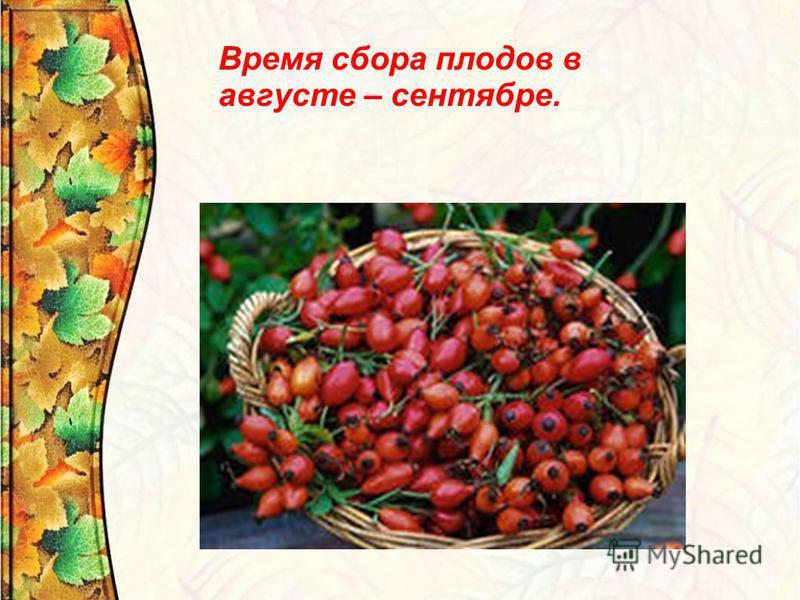 Время сбора плодов в августе – сентябре.
