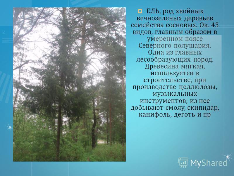 ЕЛЬ, род хвойных вечнозеленых деревьев семейства сосновых. Ок. 45 видов, главным образом в умеренном поясе Северного полушария. Одна из главных лесообразующих пород. Древесина мягкая, используется в строительстве, при производстве целлюлозы, музыкаль