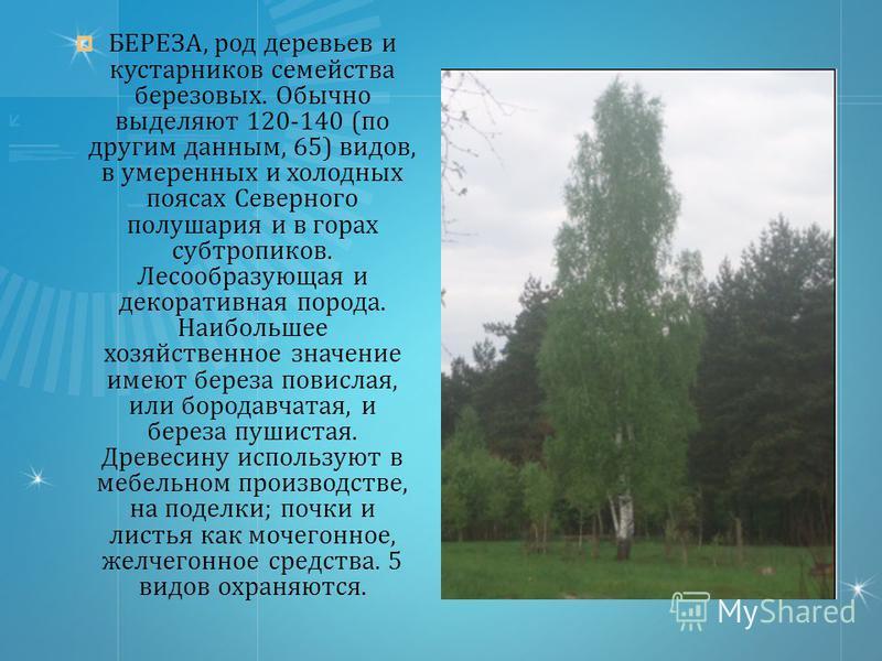 БЕРЕЗА, род деревьев и кустарников семейства березовых. Обычно выделяют 120-140 ( по другим данным, 65) видов, в умеренных и холодных поясах Северного полушария и в горах субтропиков. Лесообразующая и декоративная порода. Наибольшее хозяйственное зна