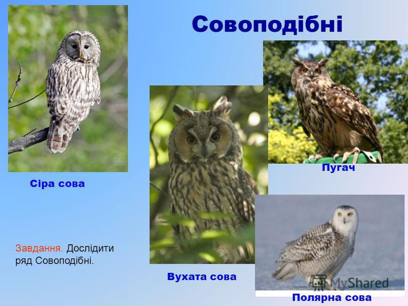 Совоподібні Сіра сова Вухата сова Пугач Полярна сова Завдання. Дослідити ряд Совоподібні.