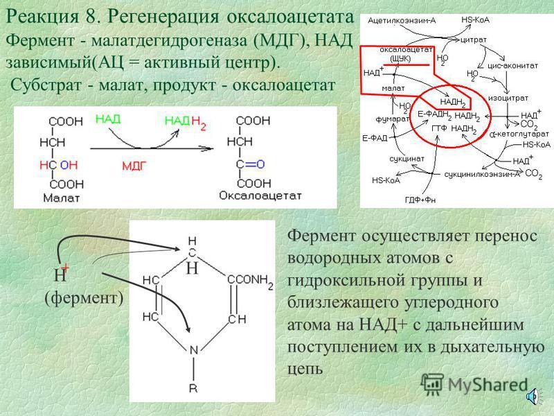АЦ фумаразы обладает сродством к концевым кислым группам молекула фумарата, что обеспечивает правильную ориентацию ее и прохождение дальнейших процессов катализа Реакция 7. Образование малата Фермент - фумараза (АЦ = активный центр) Субстраты - фумар