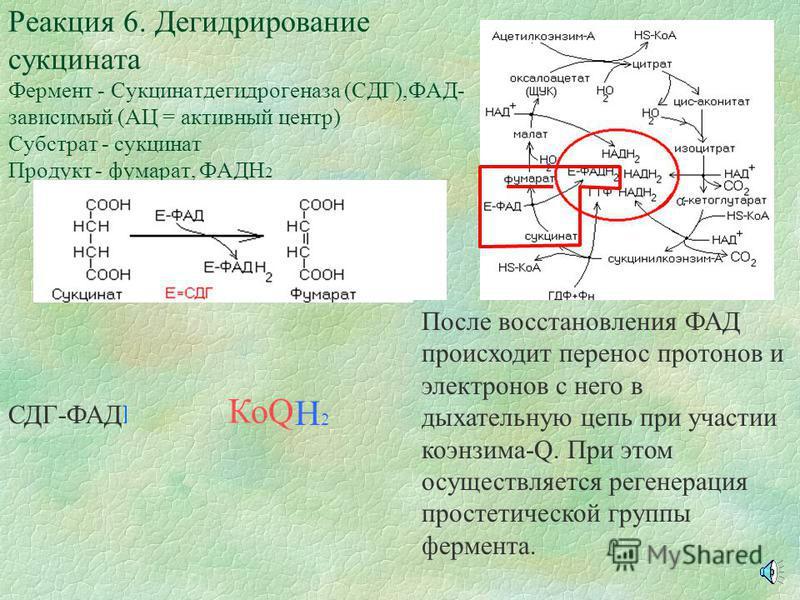 После ориентации сукцинил-КоА в АЦ фермента к молекуле в области двойной связи подходит протон и образуется водородная связь за счет неподеленной электронной пары атома кислорода. При этом поляризуется С-О связи Реакция 5. Образование сукцината Ферме