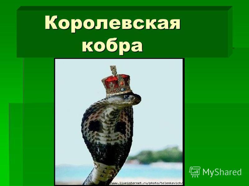 Королевская кобра Королевская кобра