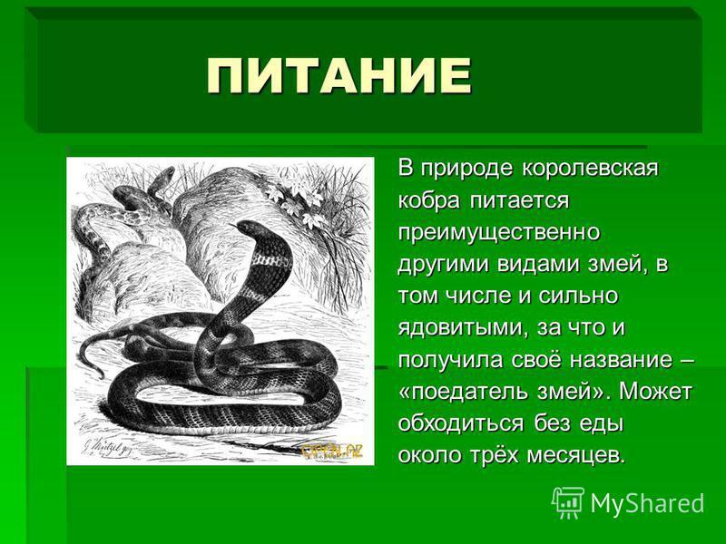 ПИТАНИЕ ПИТАНИЕ В природе королевская кобра питается преимущественно другими видами змей, в том числе и сильно ядовитыми, за что и получила своё название – «поедатель змей». Может обходиться без еды около трёх месяцев.