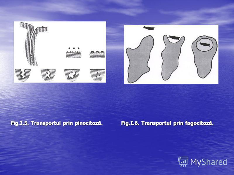 Fig.I.5. Transportul prin pinocitoză. Fig.I.6. Transportul prin fagocitoză.