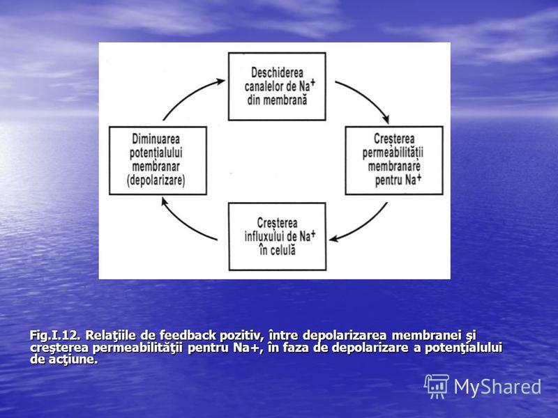 Fig.I.12. Relaţiile de feedback pozitiv, între depolarizarea membranei şi creşterea permeabilităţii pentru Na+, în faza de depolarizare a potenţialului de acţiune.