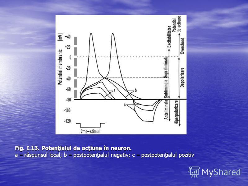 Fig. I.13. Potenţialul de acţiune în neuron. a – răspunsul local; b – postpotenţialul negativ; c – postpotenţialul pozitiv
