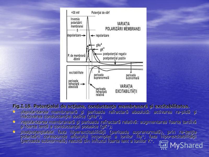Fig.I.18. Potenţialul de acţiune, conductanţa membranară şi excitabilitatea. depolarizarea membranară şi perioada refractară absolută: activarea ra-pidă şi inactivarea conductanţiei sodice (gNa + ); depolarizarea membranară şi perioada refractară abs