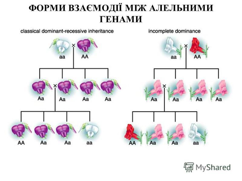 ФОРМИ ВЗАЄМОДІЇ МІЖ АЛЕЛЬНИМИ ГЕНАМИ 2 - полное доминирование 3 - неполное доминирование