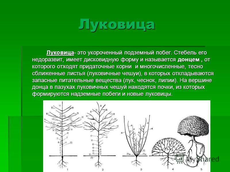 Луковица Луковица- это укороченный подземный побег. Стебель его недоразвит, имеет дисковидную форму и называется донцем, от которого отходят придаточные корни и многочисленные, тесно сближенные листья (луковичные чешуи), в которых откладываются запас