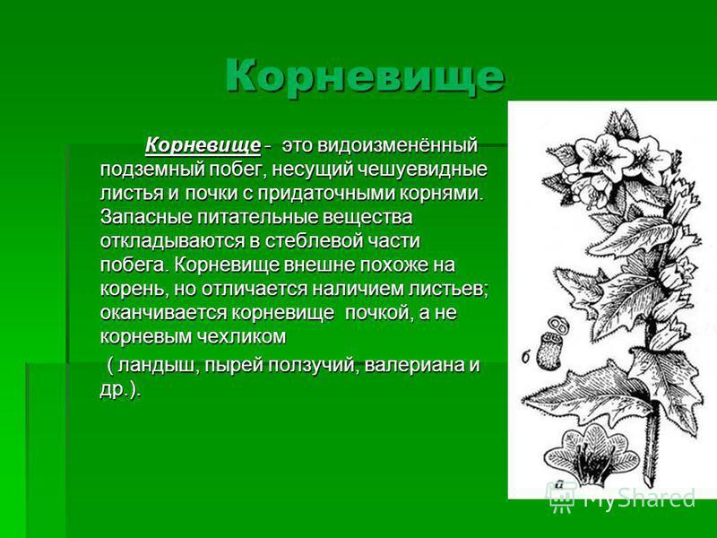 Корневище Корневище - это видоизменённый подземный побег, несущий чешуевидные листья и почки с придаточными корнями. Запасные питательные вещества откладываются в стеблевой части побега. Корневище внешне похоже на корень, но отличается наличием листь