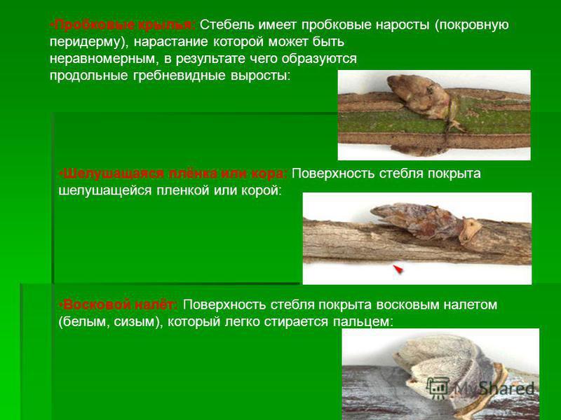 Пробковые крылья: Стебель имеет пробковые наросты (покровную перидерму), нарастание которой может быть неравномерным, в результате чего образуются продольные гребневидные выросты: Шелушащаяся плёнка или кора: Поверхность стебля покрыта шелушащейся пл