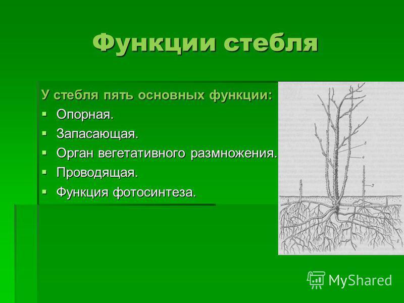 Функции стебля У стебля пять основных функции: Опорная. Опорная. Запасающая. Запасающая. Орган вегетативного размножения. Орган вегетативного размножения. Проводящая. Проводящая. Функция фотосинтеза. Функция фотосинтеза.