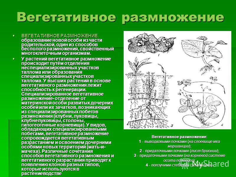 Вегетативное размножение ВЕГЕТАТИВНОЕ РАЗМНОЖЕНИЕ, образование новой особи из части родительской, один из способов бесполого размножения, свойственный многоклеточным организмам. ВЕГЕТАТИВНОЕ РАЗМНОЖЕНИЕ, образование новой особи из части родительской,