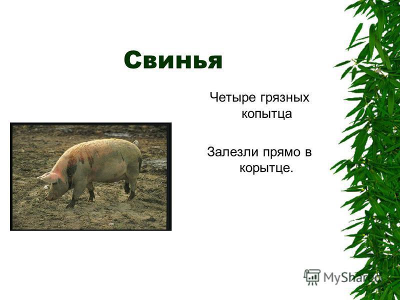 Свинья Четыре грязных копытца Залезли прямо в корытце.