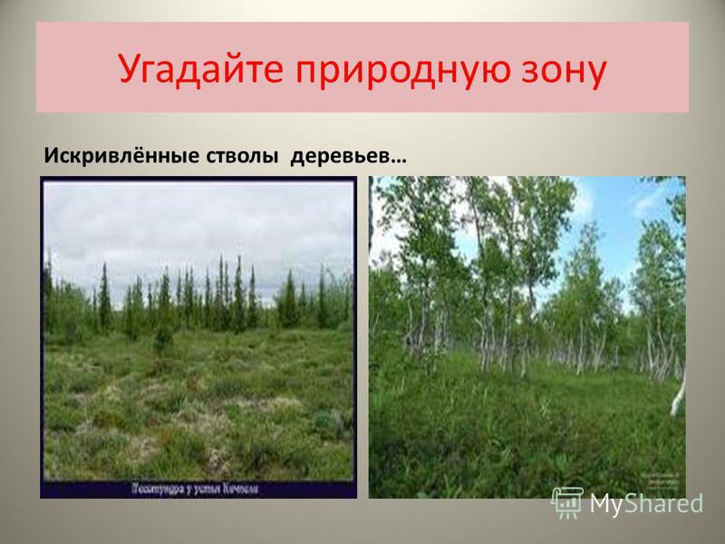 Угадайте природную зону Искривлённые стволы деревьев…