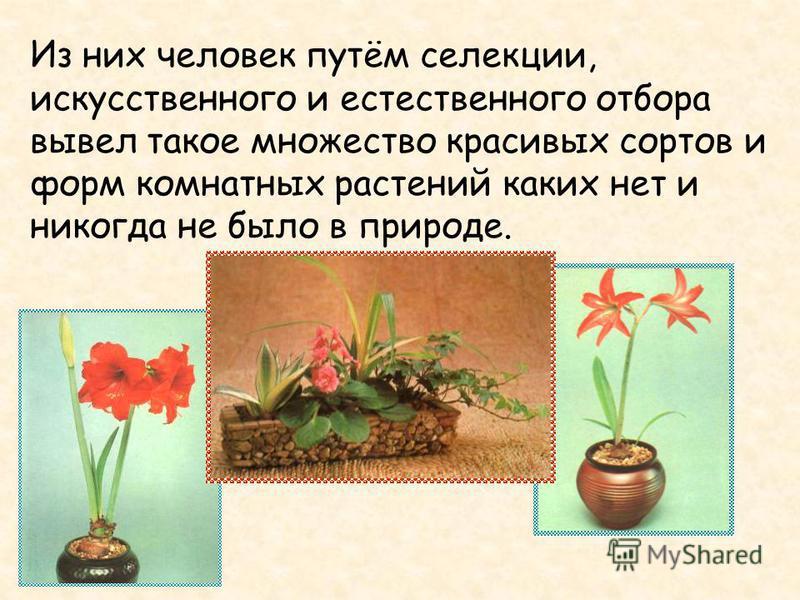 Из них человек путём селекции, искусственного и естественного отбора вывел такое множество красивых сортов и форм комнатных растений каких нет и никогда не было в природе.