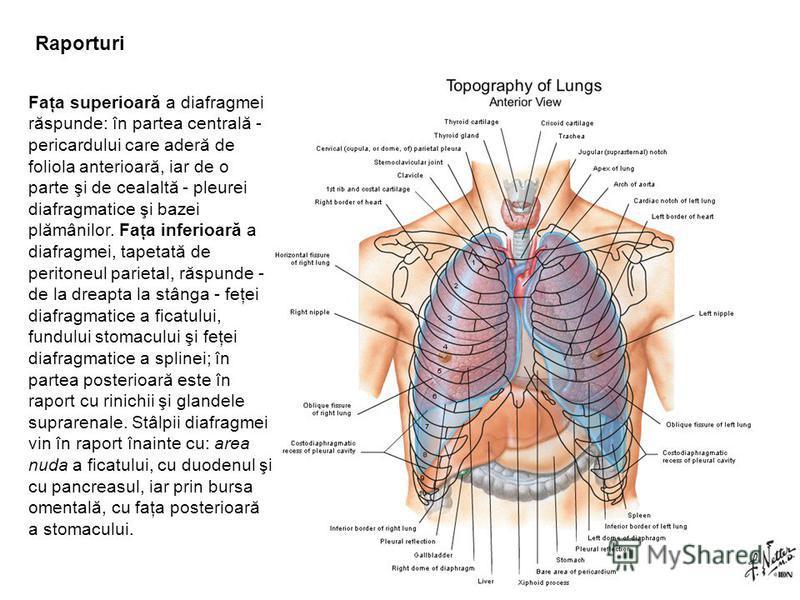 Raporturi Faţa superioară a diafragmei răspunde: în partea centrală - pericardului care aderă de foliola anterioară, iar de o parte şi de cealaltă - pleurei diafragmatice şi bazei plămânilor. Faţa inferioară a diafragmei, tapetată de peritoneul parie