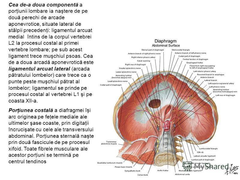 Cea de-a doua componentă a porţiunii lombare ia naştere de pe două perechi de arcade aponevrotice, situate lateral de stâlpii precedenţi: ligamentul arcuat medial întins de la corpul vertebrei L2 la procesul costal al primei vertebre lombare; pe sub