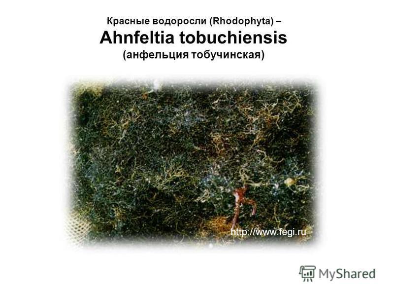 Красные водоросли (Rhodophyta) – Ahnfeltia tobuchiensis (анфельция тобучинская) http://www.fegi.ru