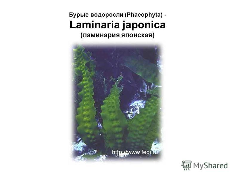 Бурые водоросли (Phaeophyta) - Laminaria japonica (ламинария японская) http://www.fegi.ru