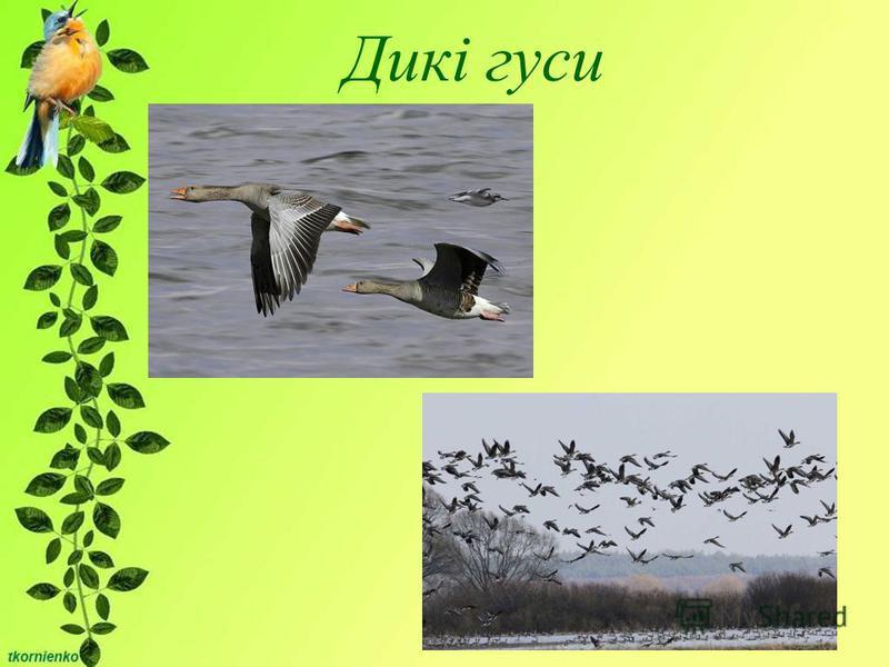 Дикі гуси