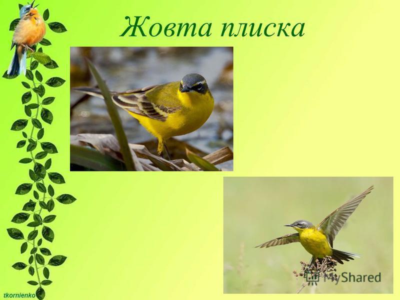 Жовта плиска