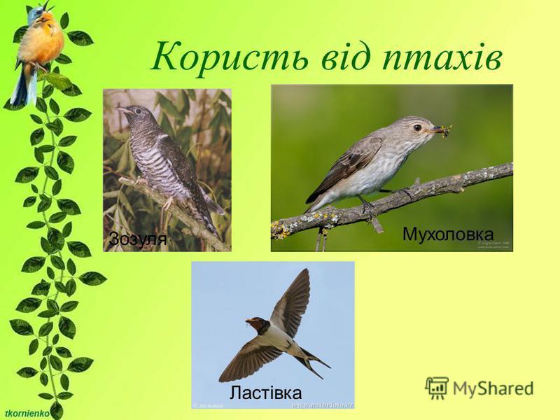 Користь від птахів Зозуля Мухоловка Ластівка