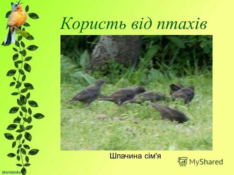 Користь від птахів Шпачина сім'я