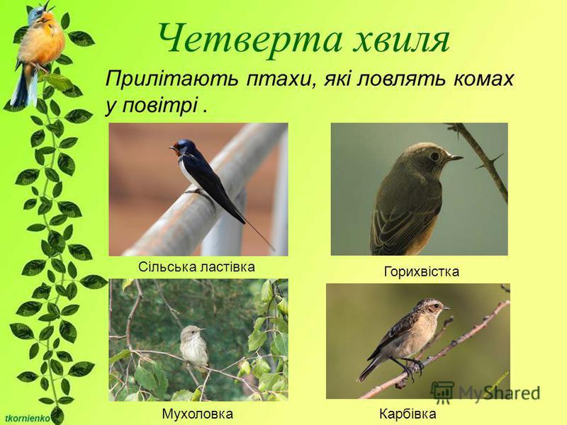 Четверта хвиля Прилітають птахи, які ловлять комах у повітрі. Сільська ластівка Горихвістка МухоловкаКарбівка