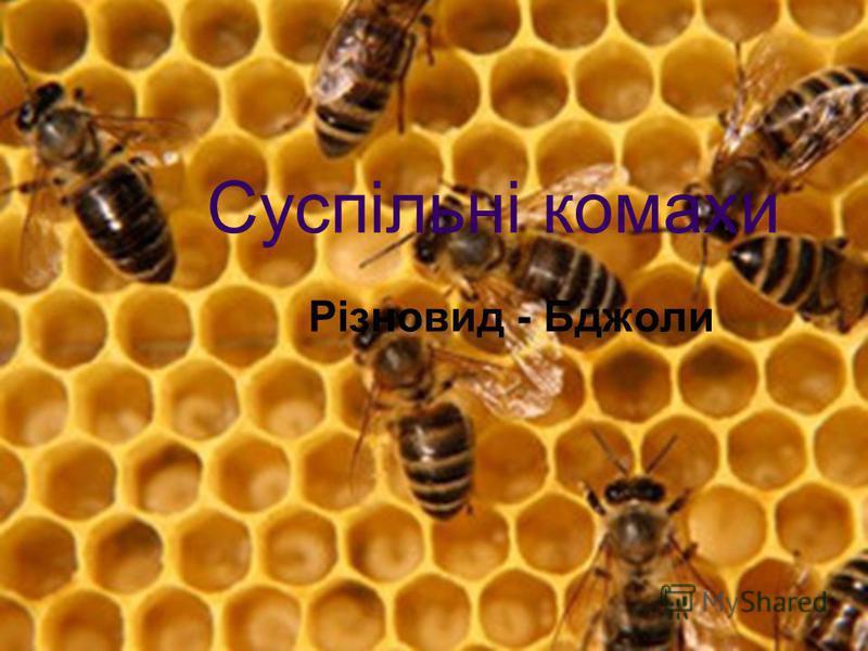 Суспільні комахи Різновид - Бджоли