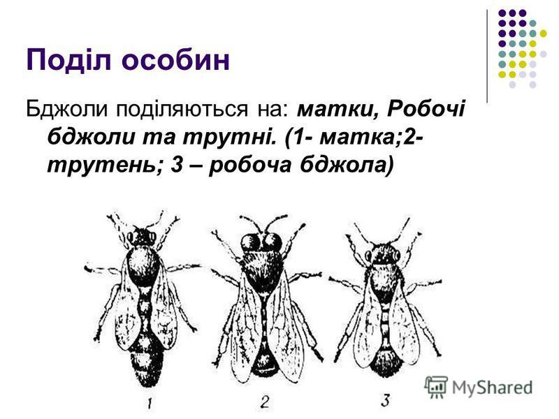 Поділ особин Бджоли поділяються на: матки, Робочі бджоли та трутні. (1- матка;2- трутень; 3 – робоча бджола)