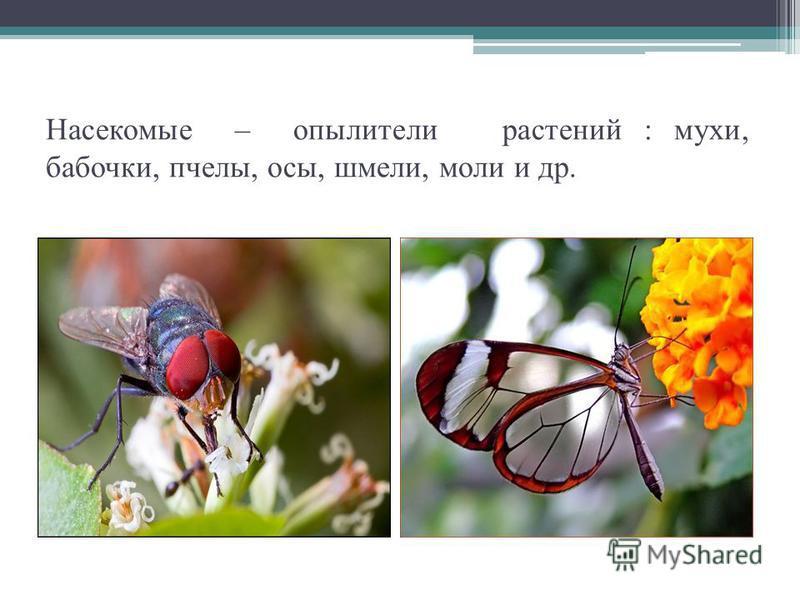 Насекомые – опылители растений : мухи, бабочки, пчелы, осы, шмели, моли и др.