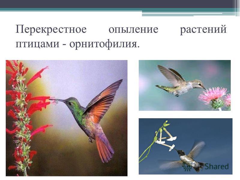 Перекрестное опыление растений птицами - орнитофилия.