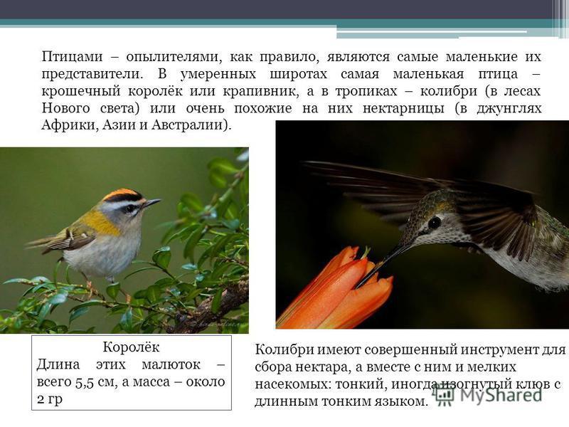 Птицами – опылителями, как правило, являются самые маленькие их представители. В умеренных широтах самая маленькая птица – крошечный королёк или крапивник, а в тропиках – колибри (в лесах Нового света) или очень похожие на них нектарницы (в джунглях