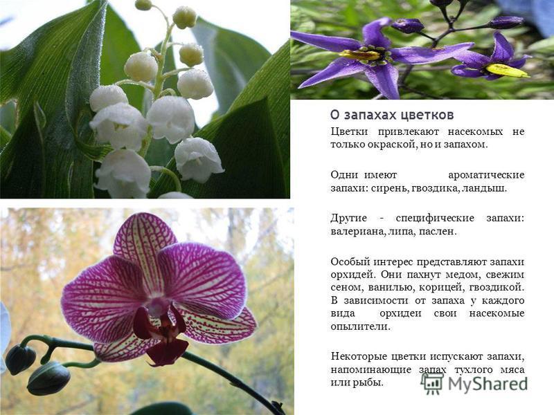 О запахах цветков Цветки привлекают насекомых не только окраской, но и запахом. Одни имеют ароматические запахи: сирень, гвоздика, ландыш. Другие - специфические запахи: валериана, липа, паслен. Особый интерес представляют запахи орхидей. Они пахнут