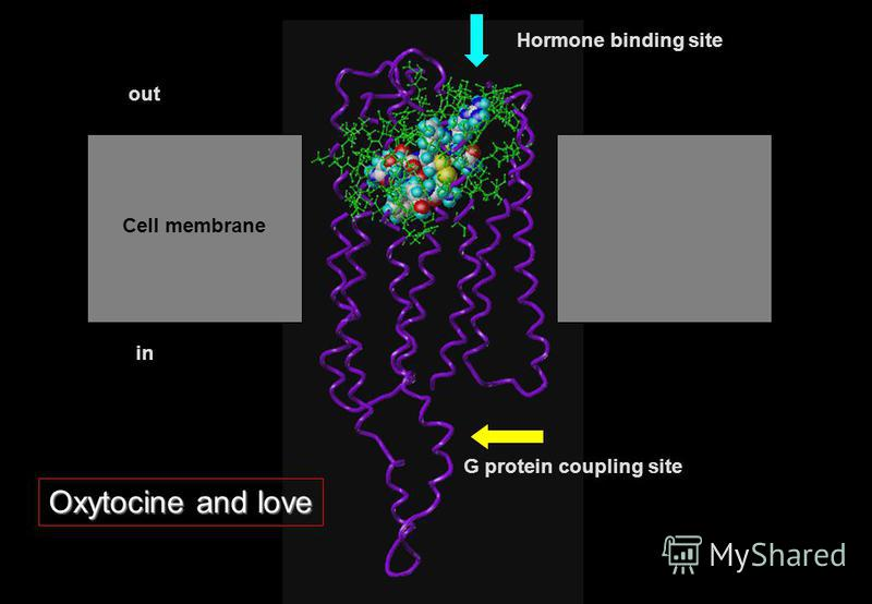 Cell membrane in out G protein coupling site Hormone binding site Oxytocine and love