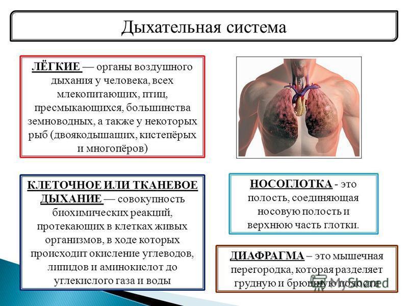 Дыхательная система ЛЁГКИЕ органы воздушного дыхания у человека, всех млекопитающих, птиц, пресмыкающихся, большинства земноводных, а также у некоторых рыб (двоякодышащих, кистепёрых и многопёров) НОСОГЛОТКА - это полость, соединяющая носовую полость
