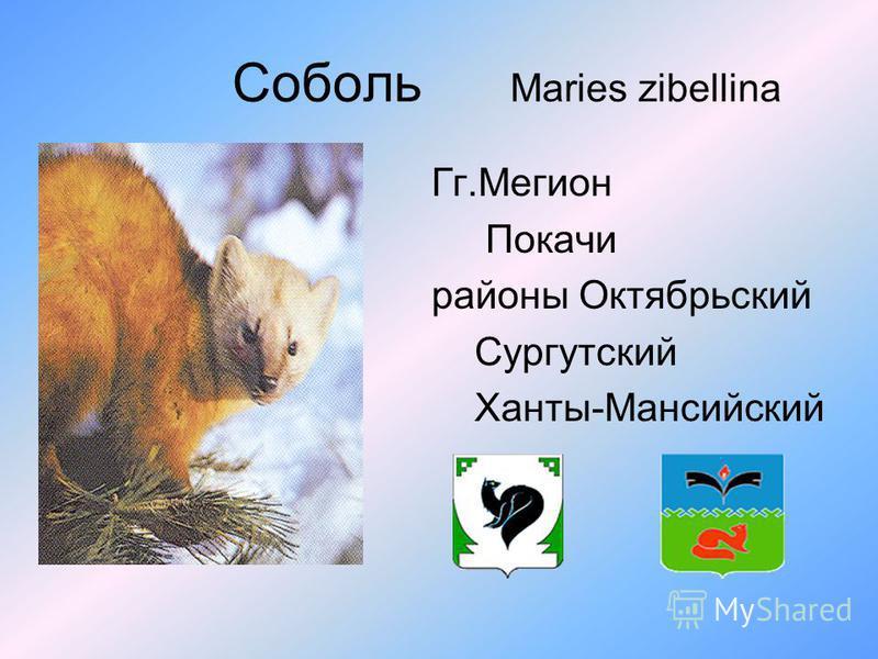Соболь Maries zibellina Гг.Мегион Покачи районы Октябрьский Сургутский Ханты-Мансийский