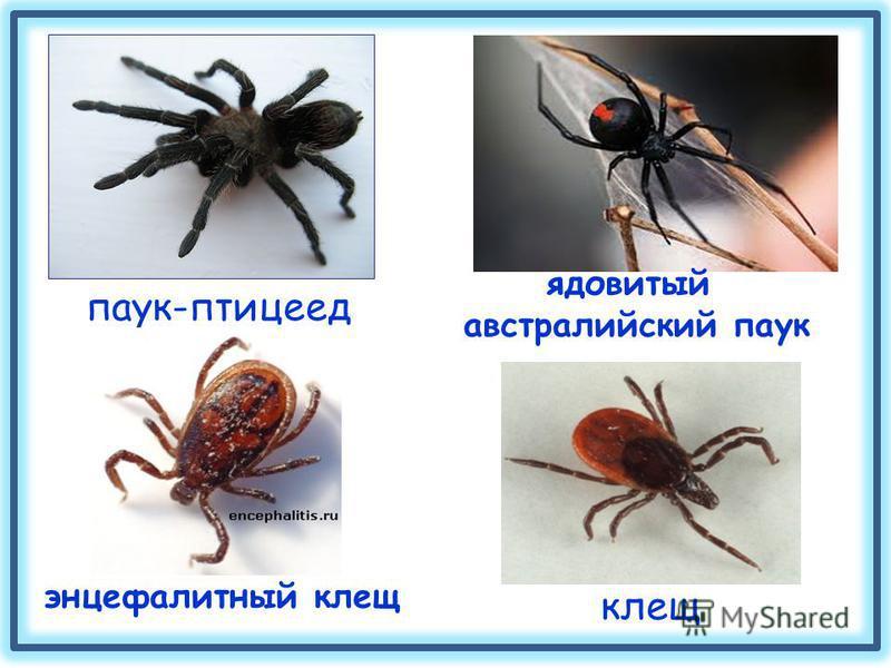 паук-птицеед ядовитый австралийский паук клещ энцефалитный клещ