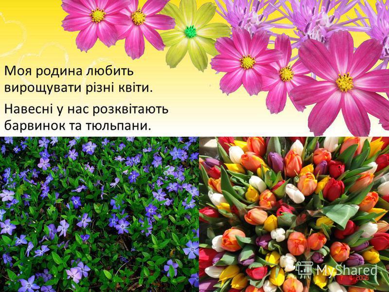 Моя родина любить вирощувати різні квіти. Навесні у нас розквітають барвинок та тюльпани.