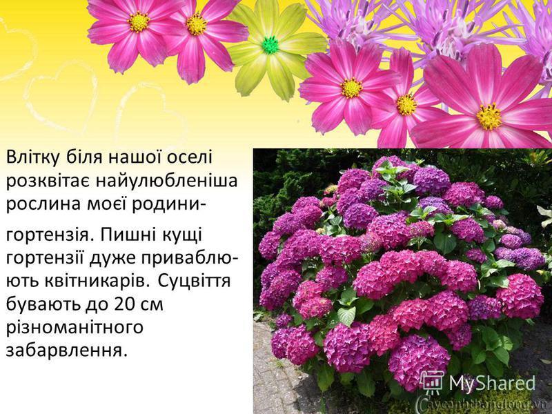 Влітку біля нашої оселі розквітає найулюбленіша рослина моєї родини- гортензія. Пишні кущі гортензії дуже приваблю- ють квітникарів. Суцвіття бувають до 20 см різноманітного забарвлення.